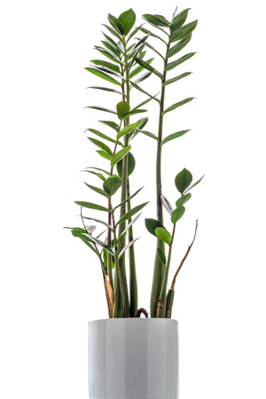typical: Zamioculcas zamiifolia on white background, a typical modern office pot plant Stock Photo