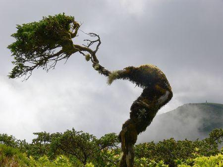 gekwelde boom op de top van Sao Miguel island, Azoren