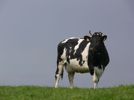 Lonely looking Belgian cow