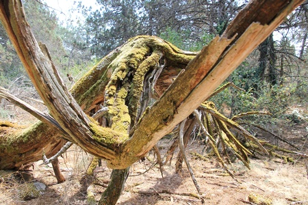 omgevallen boom op de Golem Grad eiland Stockfoto - 10879024