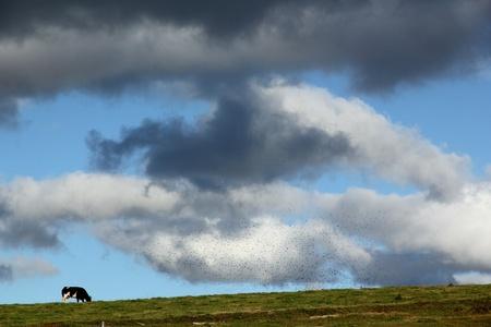 koe onder de wolken Stockfoto - 11094725