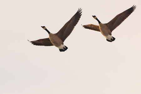couple flying canadian geese