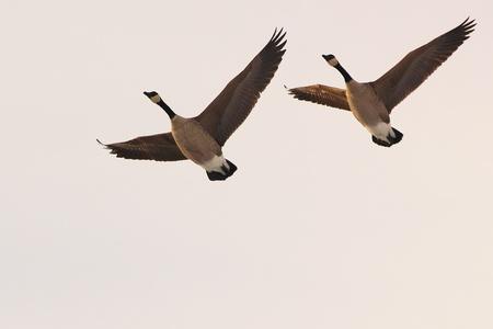 Paar vliegen Canadese ganzen Stockfoto - 13083865