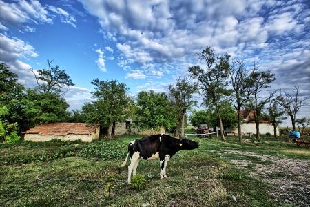 koe in de voorkant van oude boerderij in Servië Stockfoto - 14965473