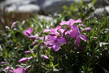 violett: a wonderfull pink flower Stock Photo