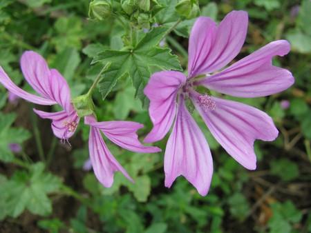 violett: violett blossom Stock Photo