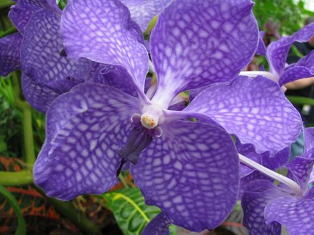 blosom:  eine Orchidee, a huge, blue blosom, an orchid Stock Photo