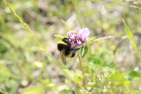 Bumblebee sitting on a clover blossom Stock Photo - 14366493