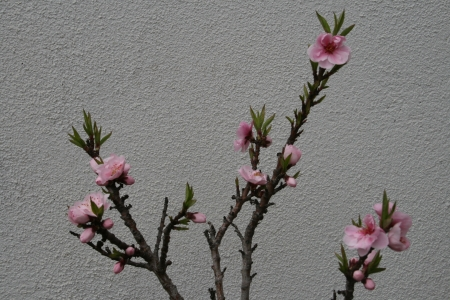 rosaceae: Apple Blossom - branches with blossoms against a white background