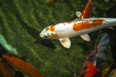 cypriniformes: white-orange koi carp