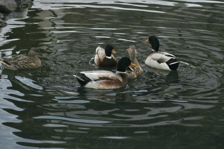 platyrhynchos: Mallards in the water Stock Photo