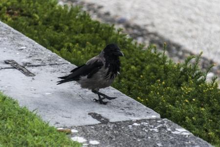 corvidae: Hooded Crow on a stone parapet
