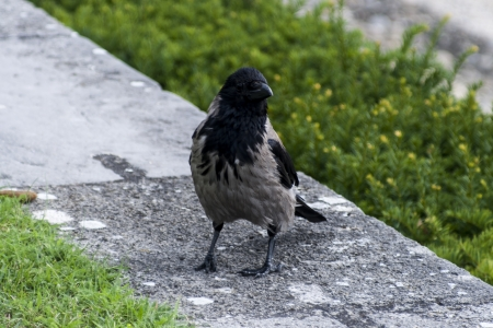 Hooded Crow on a stone parapet photo