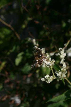 apocrita: Bee on a white flower to gather honey Stock Photo