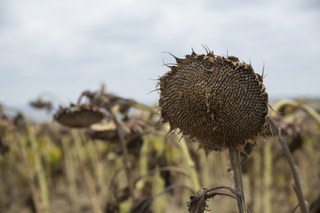 The mature full dry sunflower plant with seeds in the head sprouts on the field under