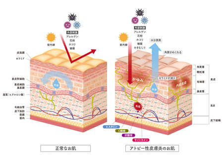 Cross section of the skin 7