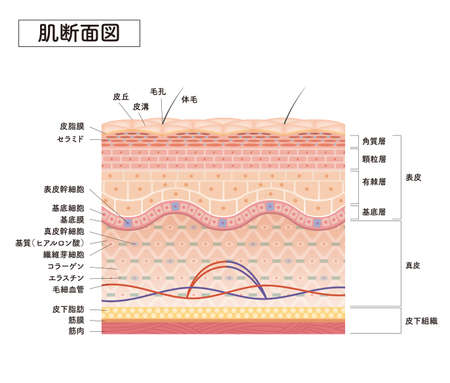 Cross section of the skin 7 front Vecteurs
