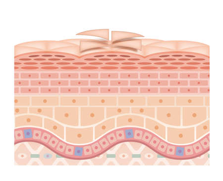 Cross section of the skin 28 front