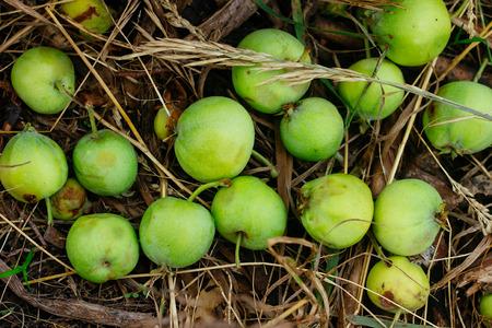 top veiw: Wild green apple on dried grass horizontal top veiw selective focus