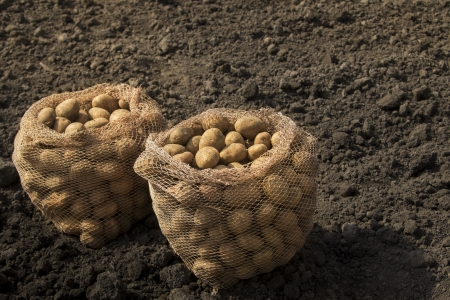 There is a harvesting potatoes in the image photo