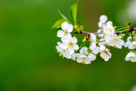 Una imagen de la flor de ramas de los árboles con flores blancas. Primavera.