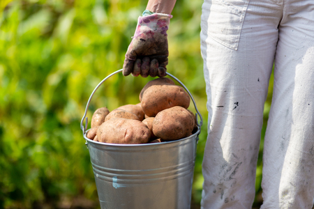An image of farmers hand with freshly harvested potatoes Stockfoto