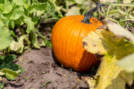An image of pumpkins growing in a pumpkin patch Stockfoto