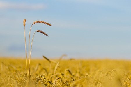 An image of golden wheat field