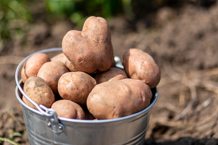 An image of potatoes in metal bucket at the vegetable garden Stockfoto