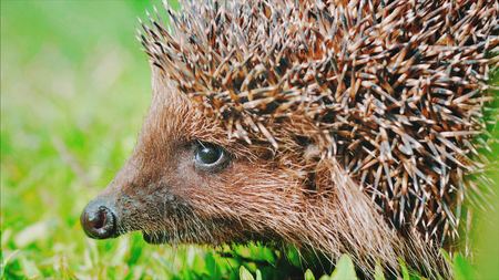 Sweet hedgehog in nature background. Natural light. Close up view.