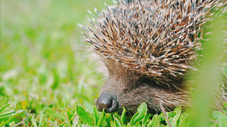 spiny: Sweet hedgehog in nature background. Natural light. Close up view.