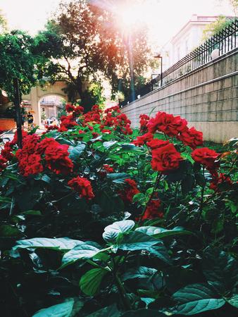 roseleaf: Rose bush in the garden. Red roses under the sunlight. Stock Photo