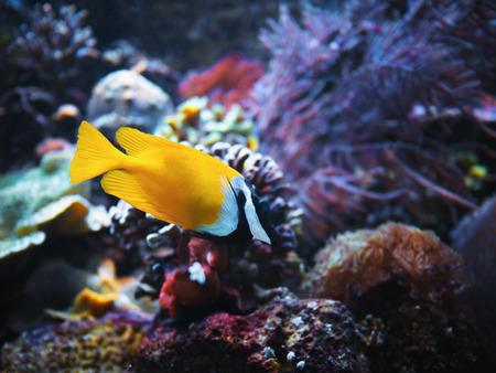 Close-up yellow bright small fish swimming in aquarium.