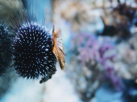 Sea urchin in aquarium. Beautiful marine background Banque d'images