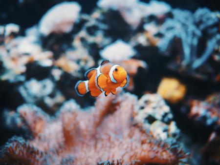 Sea anemone and clown fish in marine aquarium. On black background Stockfoto