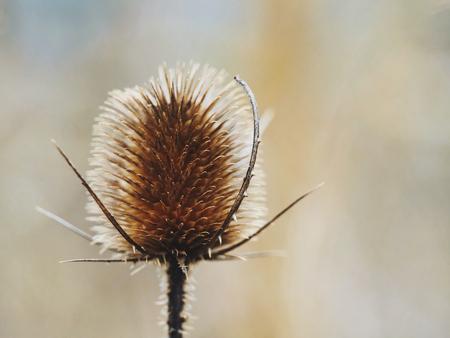 Seed head or comb of wild teasel or fullers teasel Dipsacus fullonum or Dipsacus sylvestris, Hortus Botanicus