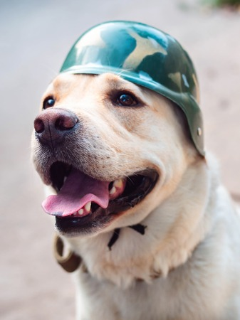 Beautiful adult golden labrador dog in military helmet. Doggy smiling. Hes feeling hot at summer. Trained war dog