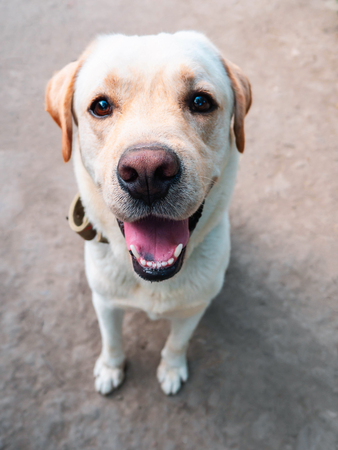 Beautiful adult golden labrador dog. Doggy smiling. He's feeling hot at summer. Banco de Imagens - 111486516