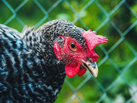 Beautiful super close-up portrait of chicken on home farm. Livestock, housekeeping organic agriculture concept. Hen with red scallop looking to camera Banco de Imagens - 111486517
