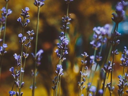 Selective focus on lavender flower in the golden autumn garden. Close up beautiful flowers.