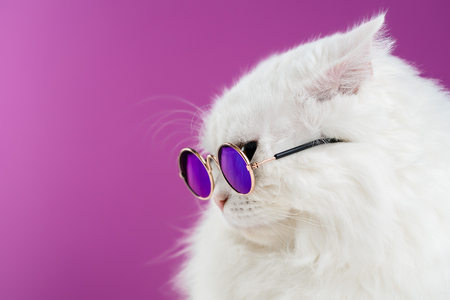Close portrait of white furry cat in fashion sunglasses. Studio photo. Luxurious domestic kitty in glasses poses on pink background wall. Copy space. Banco de Imagens - 113058772