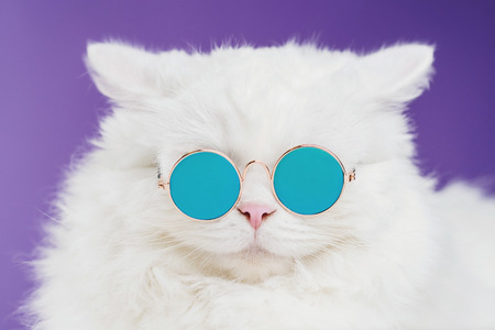 Portrait of highland straight fluffy cat with long hair and round sunglasses. Fashion, style, cool animal concept. Studio photo. White pussycat on violet background. Banco de Imagens - 113058770