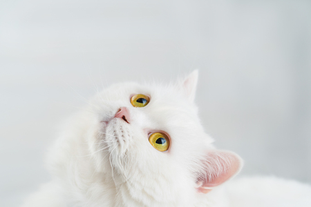 Portrait of fluffy domestic white highland straight scottish cat isolated on white studio background. Cute kitten or pussycat with big yellow eyes. Copy space. Banco de Imagens - 113058778