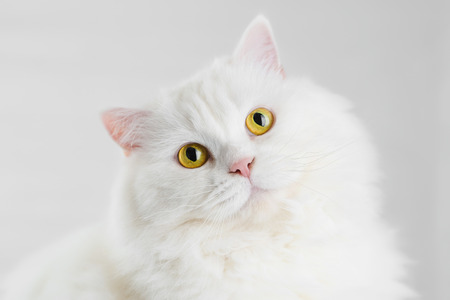 Portrait of fluffy domestic white highland straight scottish cat isolated on white studio background. Cute kitten or pussycat with big yellow eyes
