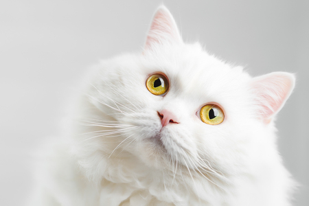 Portrait of fluffy domestic white highland straight scottish cat isolated on white studio background. Cute kitten or pussycat with big yellow eyes Banco de Imagens - 113058771