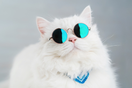 Portrait of highland straight fluffy cat with long hair and round sunglasses. Fashion, style, cool animal concept. Studio photo. White pussycat on gray background