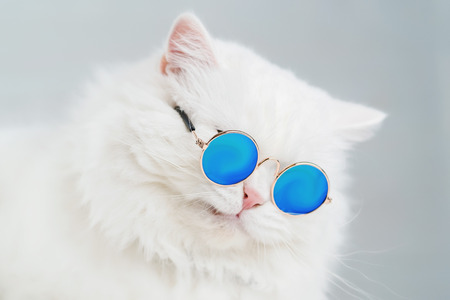 Luxurious domestic kitty in glasses poses on gray background wall. Portrait of white fluffy cat in fashion sunglasses. Studio photo. Funny grimace.