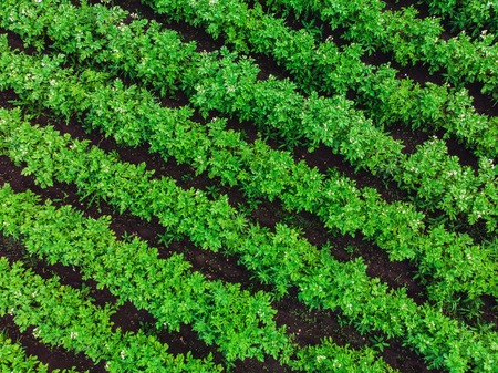 Aerial drone view to beds of green ripening potatoes bushes. Country field of potato in row lines. Fresh bright background. Top view. Nature, harvest, farm concept