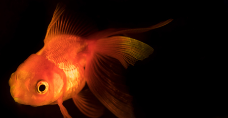 Single adult goldfish with fins swimming in aquarium isolated on black background. The fish float in the water column. Close up view. Animal pets concept.