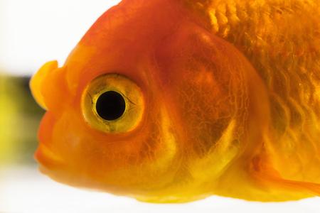 Macro fish eye. Single adult goldfish in aquarium isolated on white background. Close up view. Animal pets concept. Banco de Imagens